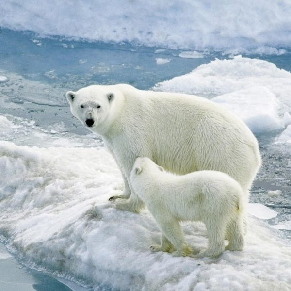 Mom-Polar-Bear-Alongside-Cub-Wallpaper-800x600
